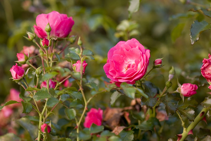 das bulgarische rosental bg rose naturkosmetik aus der damaszener rose hochqualitative. Black Bedroom Furniture Sets. Home Design Ideas